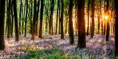 Bluebell hout Sunrise