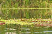 Schreitvogel auf riesigen Seerosen