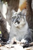 Cougar sitting under the tree