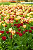 Field With Colorful Dutch Tulips