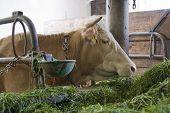 Vaca dentro de um celeiro de vaca