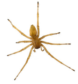 picture of huntsman spider  - brown spider Russia living  - JPG