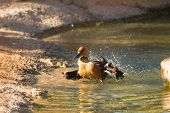 Dendrocygna Bicolor, Fulvous Whistling Duck