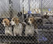Foxhounds in kennel