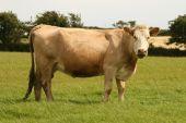 irisches Rindfleisch-Vieh