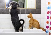 stock photo of mutts  - Animals pets at home dog puppy mutt and little red cat kitten playing together in bathroom sink looking at mirror - JPG