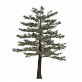 picture of pinus  - Tree pine isolated - JPG