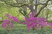 foto of azalea  - Pink Azaleas among the oaks and English Ivy - JPG
