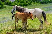 Mother Horse gives breastfeeding to his young foal