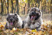 Caucasian Shepherd Dogs