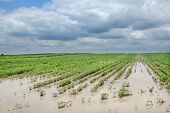 foto of flood  - Agricultural natural disaster flooded soy field in spring - JPG