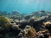 image of fire coral  - Millepora fire corals and table corals on a reef - JPG