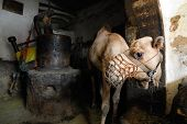 Camel At Creamery, Yemen