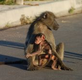 Baboon In Africa