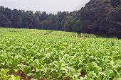 foto of tobacco leaf  - A red dirt field in the North Carolina farm country of rows of green tobacco plants on a rainy day - JPG
