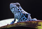 Blue strawberry poison dart frog, Dendrobates pumilio Colubre from the tropical rain forest of Panam