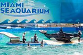 MIAMI,US - DECEMBER 8,2013: Lolita, the killer whale at the Miami Seaquarium.Founded in 1955,the old