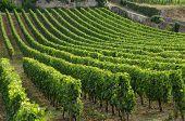 Gironde, Vineyard Of Saint Emilion In Aquitaine