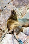 stock photo of ica  - South American Sea lions relaxing on rocks of Ballestas Islands in Paracas National parkPeru. Flora and fauna