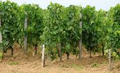 vineyard of Saint-Emilion