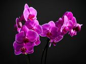 Pink Cultivated Orchid On Dark Background