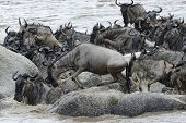 Wildebeest stucked on rocks in the Mara river