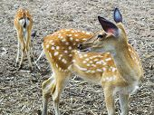 Young Sika Deer.