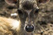 Sika Deer Kid Nose.