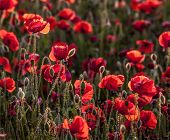 Field of bright red poppies