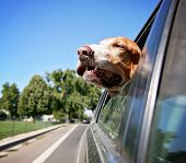 a funny basset hound with her head out of a car window