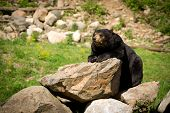 Eastern American Black Bear Lying On Rocks