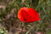 stock photo of rape-seed  - Red poppy flowers in the oil seed rape fields - JPG