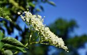 image of elderberry  - Blooming medicinal elderberry on blue sky background