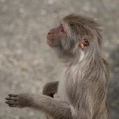 Rhesus Macaque In Close-up During Natural Behavior