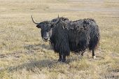 Yak in field