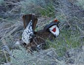 stock photo of sagebrush  - Male Blue Grouse showing off tail display among sagebrush and grass on shady hillside - JPG