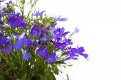 stock photo of lobelia  - small dark blue lobelia flowers  isolated on white