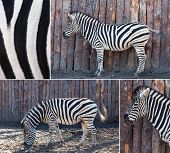Zebra  Posing In Nature