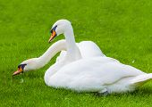 Two Swans In Nature