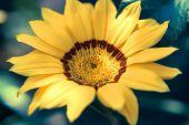 Bright Yellow Flower Calendula Close Up