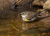 Bathing Yellow-rumped Warbler