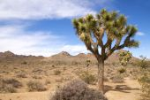 Majestic joshua tree