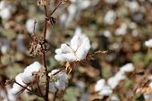 stock photo of texans  - plantation growing are cotton flowers bloomed closeup - JPG