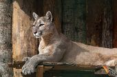 Portrait Of Lying Puma