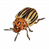 Colorado beetle isolated on white background