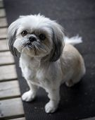 Cute, Little Shih Tzu Puppy Looks Up Into Camera