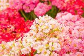 kalanchoe flowers