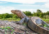 foto of giant lizard  - The wildlife of giant water monitor lizard - JPG