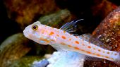 Orange dotted goby