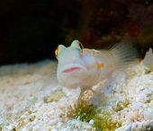 Marine fish Goby at home